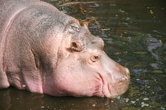 Hippo. Adult hippopotamus,hippo is African large animal Royalty Free Stock Image