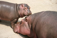 Hippo. Mother and child, is African large animal Royalty Free Stock Photography