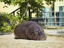 hippo Immagine Stock