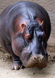 Hippo. Standing in the mud Stock Image