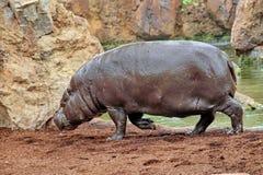 hippo fotos de stock royalty free