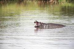 Hippo in Africa. A hippo yawning in the hippo fool in Kenya, Africa Stock Images