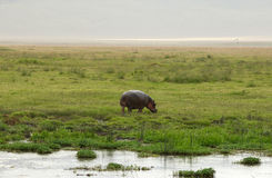 Hippo in African national park Stock Image
