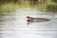 Hippo in Afrika Stock Afbeeldingen