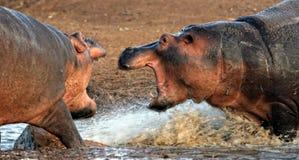 Hippo aggression Royalty Free Stock Photos