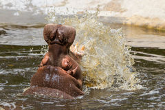 Hippo (amphibius Hippopotamus) Στοκ Φωτογραφία