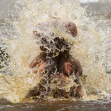 Hippo (amphibius Hippopotamus) Στοκ φωτογραφία με δικαίωμα ελεύθερης χρήσης