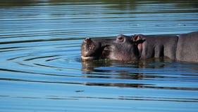 Hippo (amphibius van het Nijlpaard) stock fotografie