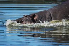 Hippo (amphibius van het Nijlpaard) stock foto's