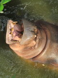 Hippo animal herbivores Thailand Asia Royalty Free Stock Photography