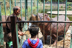 Hippo. Arabian egyptian children feeding hippo behind cage in  giza zoo in egypt Royalty Free Stock Image