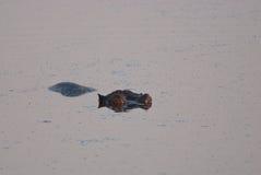 Hippo sleeping Stock Images