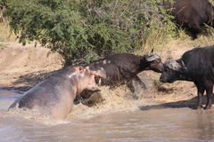 Hippo attacking Cape Buffalo Royalty Free Stock Image