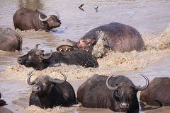 Hippo attacking Cape Buffalo in water Royalty Free Stock Image
