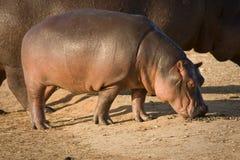 Hippo baby. With mother, Hippopotamus amphibius Stock Photos