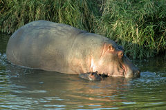Hippo and baby. Hippopotamus and baby in a river in the Kruger National Park Royalty Free Stock Images