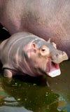 Hippo baby Royalty Free Stock Photos