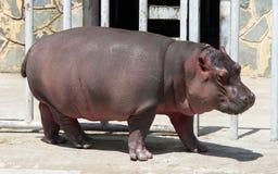 Hippo baby Stock Photo