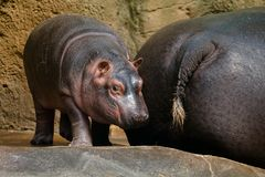 Hippo with baby. Large hippo with small baby, Zoo Prag stock images