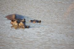 Hippo with a baby in a pond in Pilanesberg National Park royalty free stock image