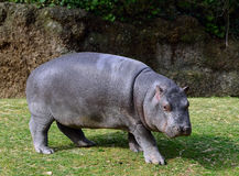 Basel - Zoo, Hippo / Flusspferd Stock Photography