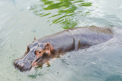 The hippo bathing in the pond. Royalty Free Stock Image