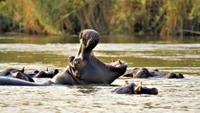 Hippo with big mouth royalty free stock image