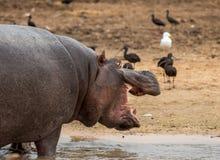 Hippo bij de dierentuin Ramat Gan royalty-vrije stock fotografie