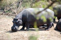 Hippo bij een bar Stock Afbeeldingen