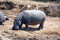 Hippo bij een bar Stock Fotografie