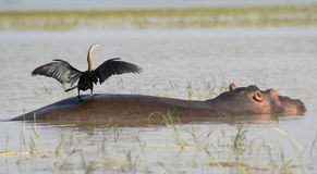 Hippo with bird 2. Hippo with bird on the back in lake Ziway, Southern Ethiopia Royalty Free Stock Images