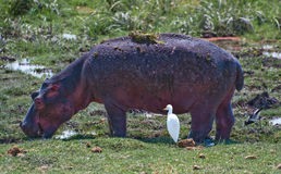 Hippo & Bird Stock Image