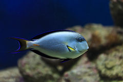 Hippo blue tang Royalty Free Stock Images