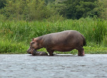 Hippo calf and cow in Uganda Stock Image