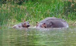 Hippo calf and cow waterside in Africa Royalty Free Stock Photos