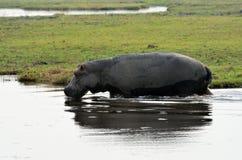 Hippo in Chobe National Park, Botswana Royalty Free Stock Image