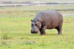 Hippo in Chobe National Park, Botswana Royalty Free Stock Photos