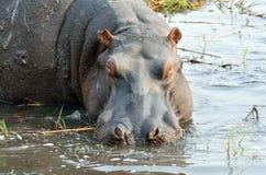 Hippo in Chobe National Park, Botswana Royalty Free Stock Photography