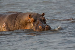 Hippo in Chobe River Royalty Free Stock Images