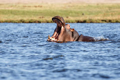 Hippo - Chobe River, Botswana, Africa Royalty Free Stock Photo