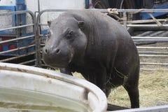 Hippo Climbing Into Pool Royalty Free Stock Photos