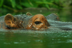 Hippo Close Up. Hippo peaking out of the water Royalty Free Stock Photo