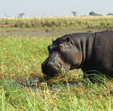 Hippo Close Up. A head shot of a hippo in the wild in Botswana, Africa Royalty Free Stock Photography