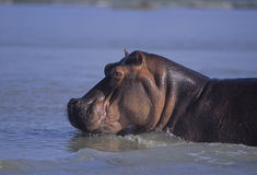 Hippo close-up Royalty Free Stock Image