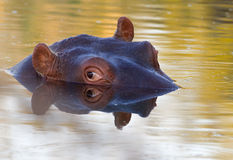 Hippo closeup Stock Image