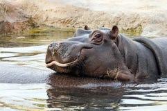 Hippo royalty free stock photos