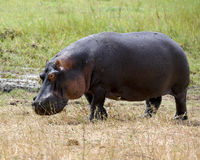 Hippo closeup out of water royalty free stock photography