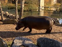 Hippo comes out of the water. On a autumn sunny day royalty free stock image