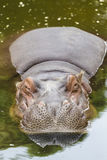 Hippo comfortably sleeps Royalty Free Stock Images
