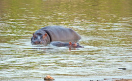 Hippo cow and calf. Swimming in a green dam, standing up Royalty Free Stock Photos